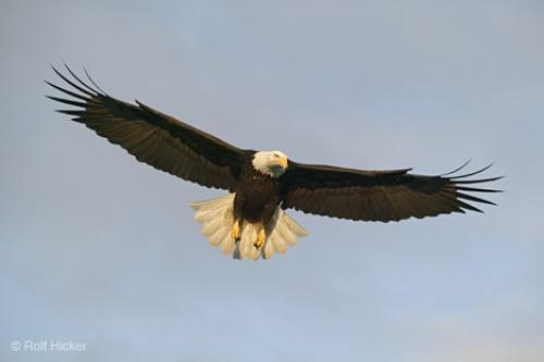 Stock Photo of flying birds, Bald Eagle, Haliaeetus leucocephalus, Alaska,