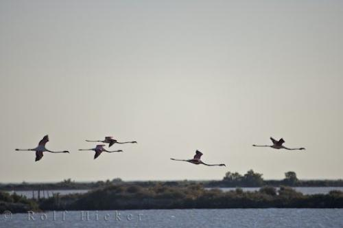 Flying Greater Flamingos Picture Provence France