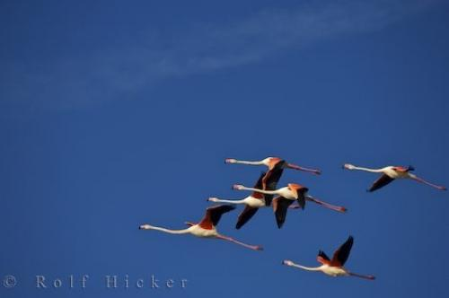 Flying Greater Flamingoes Plaine De La Camargue Provence France