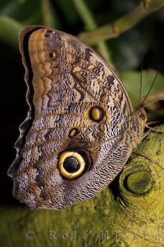 Giant Owl Butterfly