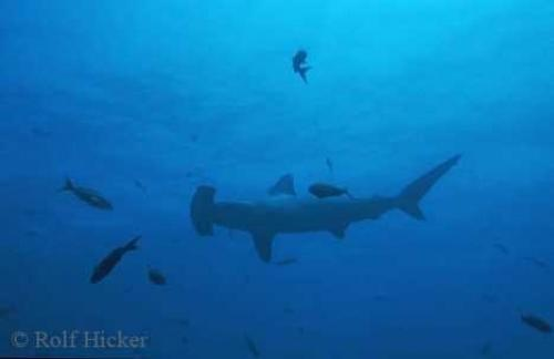 Hammerhead Shark picture 2