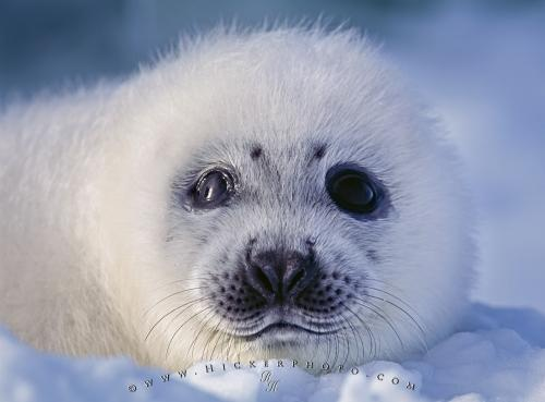 seal. When a harp seal is born they