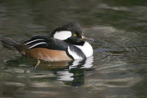 Photo:  Picture of a Hooded Merganser
