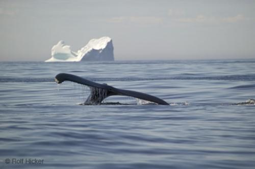 Humpback Whale With Iceberg