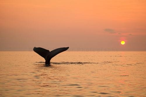 Newfoundland Humpback Whale Tail Sunset