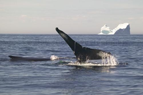 Humpback Whale Diving front Of Iceberg
