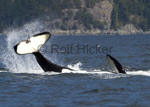 Photo:  killer whales playing