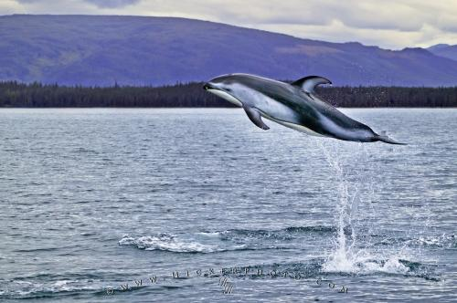 leaping-dolphin_4391.jpg