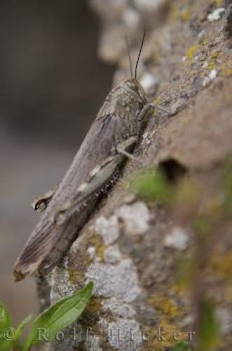 Picture Of Locust Insect