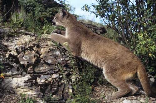 Photo:  Fast Cat Mountain Lion Pictures