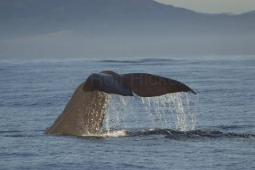 Stock Photo of a new zealand animal, a sperm whales