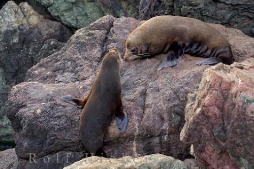 Picture of New Zealand Ocean Animals. Photo of two young New Zealand Fur