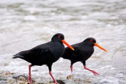 New Zealand Oyster Catchers
