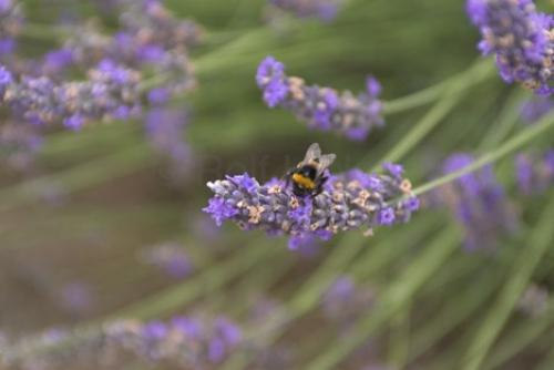Photo:  Bumble Bees