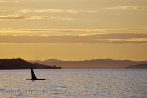 Northern Resident Killer Whale Sunset Vancouver Island