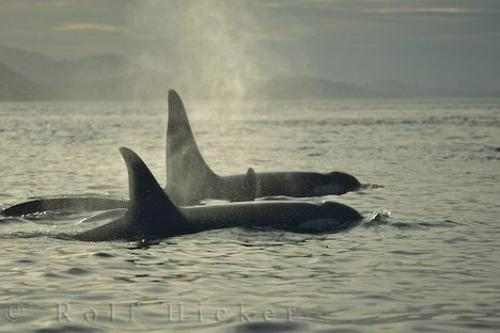 Photo:  Northern Vancouver Island Killer Whales