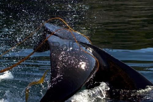 Photo:  Orca Whale Playing In Kelp