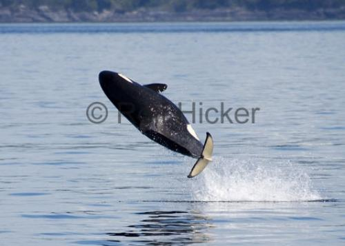 orca whale springer jumping