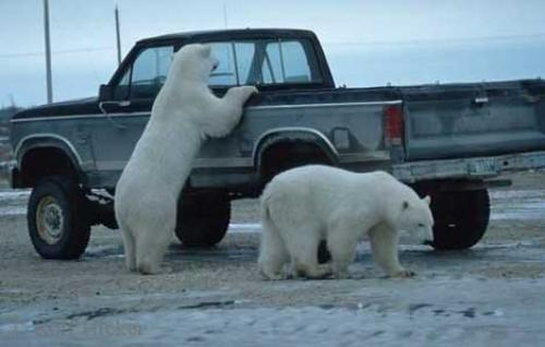 Photos Of Polar Bears