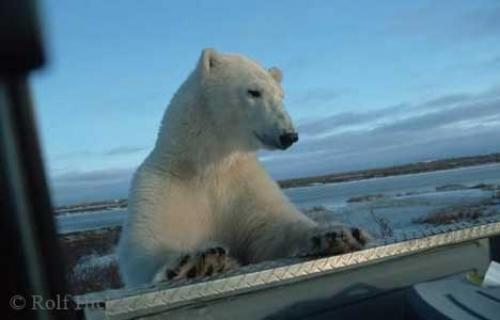 Photo:  Picture Of A Polar Bear