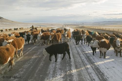 Photo:  pictures of cows Herd Southern Alberta