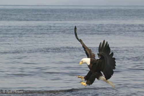 Photo:  Fishing Bald Eagle Pictures Of Birds