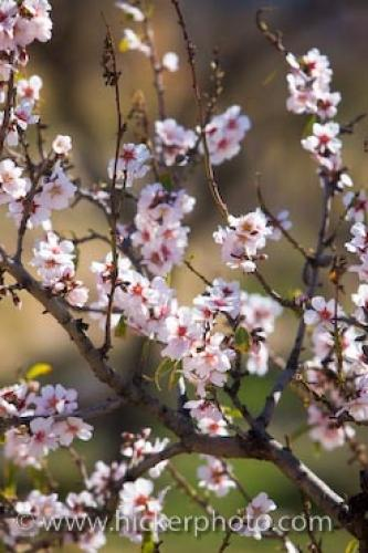 Photo:  Pink Almond Tree Flowers Picture