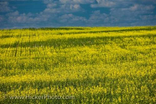 yellow flowers field. Field of Rapeseed Flowers,