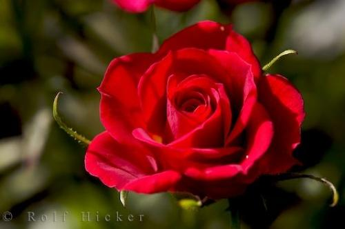 Photo:  Red Rose