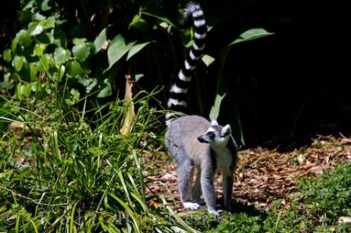 Photo:  Ring Tailed Lemur Auckland Zoo