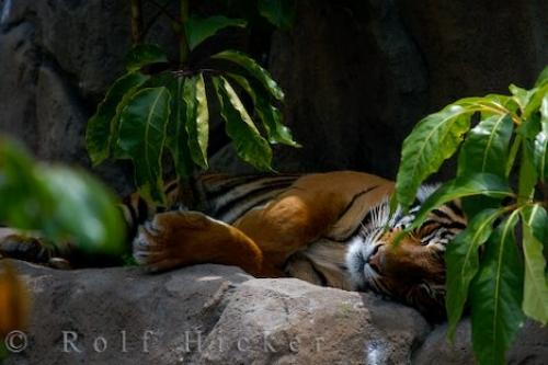 http://www.hickerphoto.com/data/media/162/sumatran-tiger_16637.jpg