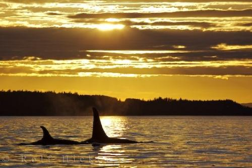 Sunset Orca Swim Northern Vancouver Island