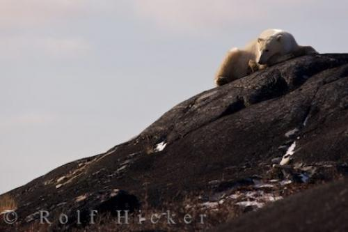 Tired Polar Bear Churchill Rocks Manitoba