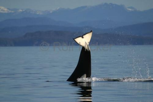 Transient Killer Whale Tail