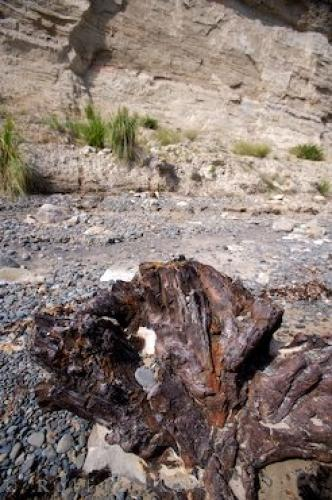 Photo:  Ancient Tree Trunk Cape Kidnappers Beach