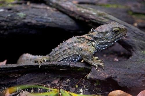 Picture of Tuatara Reptile
