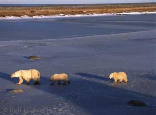 pictures of animals. Tundra Animals, Polar Bears in