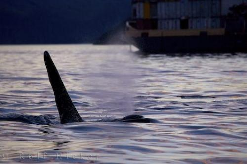 Photo:  Vancouver Island Orca Barge Traffic
