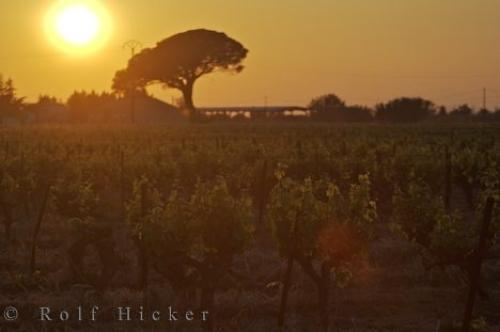 Vineyard Sunset Umbrella Tree Backdrop Provence France