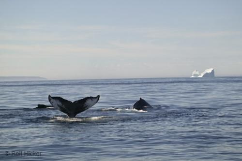 Images Of Whales. Picture of Whales And Icebergs