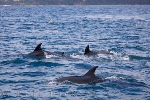 Wild Coastal Bottlenose Dolphins Bay Of Islands NZ