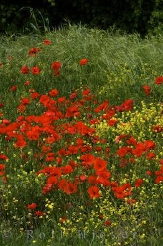Photo:  Wild Poppy Field Picture Provence France