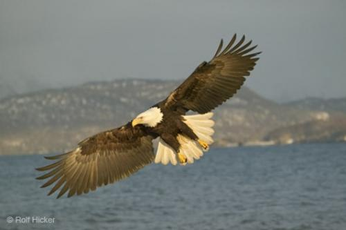 Photo:  Wildlife Pictures Bald Eagle In Flight