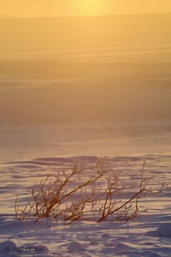 Photo:  Snow Covered Willows Winter Sunset