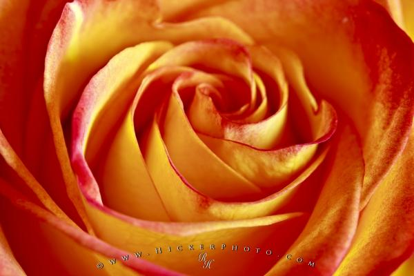Beautiful Bicolored Rose Picture