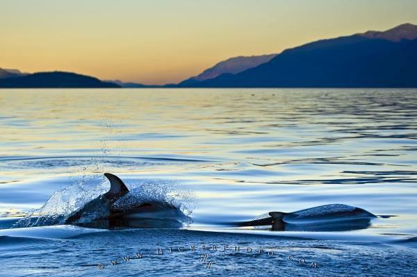 Photo:  Dolphins Sunset Animal Picture