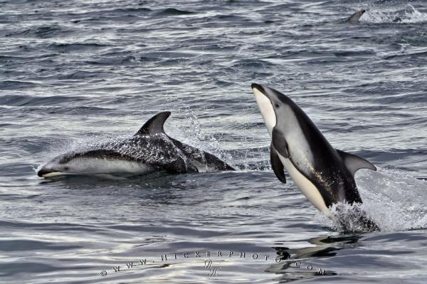 Photo:  Dolphin Images Playing Jumping Animal
