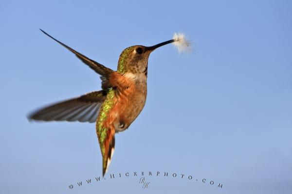 Hummingbird Wildlife Picture