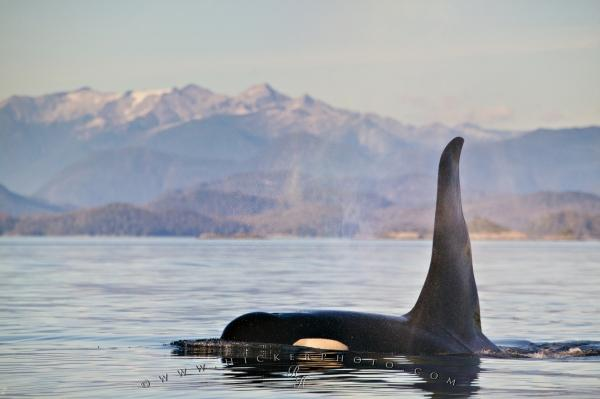 Photo:  Photo Of A large male Killer Whale