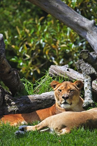 Photo:  African Lion Facts